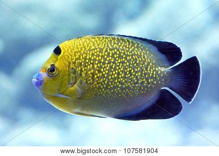 Goldflake Angelfish (apolemichthys Xanthopunctatus)