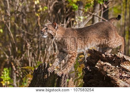 Bobcat (lynx Rufus) Stretches Between Stump And Tree
