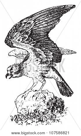 Osprey, vintage engraved illustration. Dictionary of words and things - Larive and Fleury - 1895.