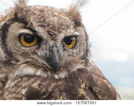 Eagle-owl (Bubo bengalensis)