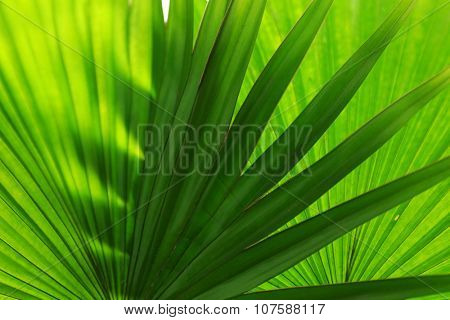 Palm  leaves (Livistona Rotundifolia palm), close up