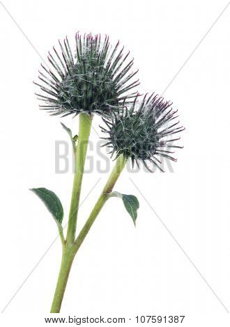 two burdock buds isolated on white background