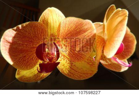 Closeup on orange orchids