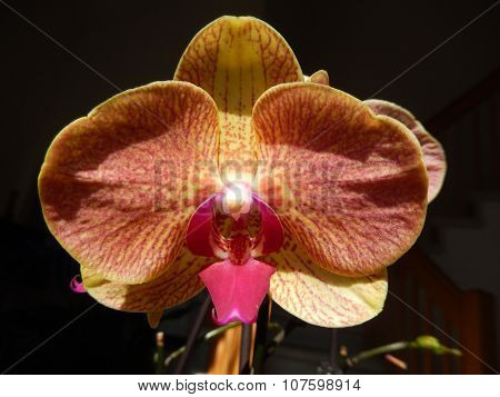 Orange orchid with a red center petal