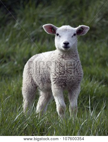 Single young lamb