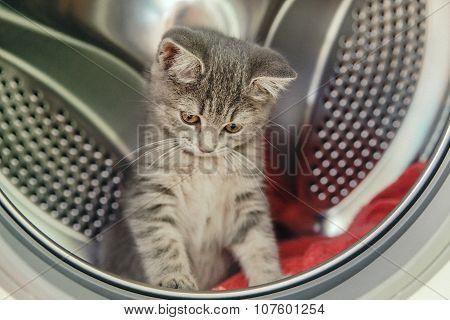 Grey Scottish kitten is sitting in a washing machine