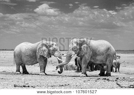 2 Elephants in black & white on the Etosha Plains