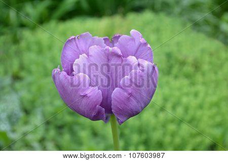 Blue tulip.