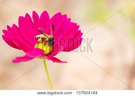 Honey Bee Collecting Pollen And  From Pink Cosmos Flower.