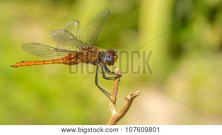 Macro portrait of a Dragonfly - stock photo