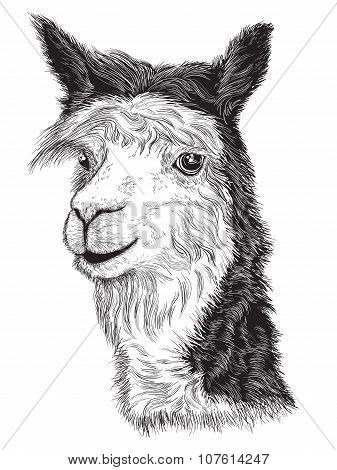 Sketch Of A Alpaca's Face