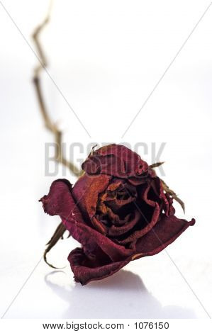 Withered Red Rose