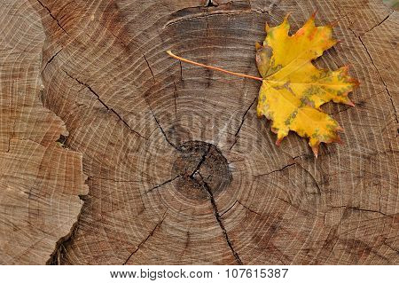 yellow leaf on a felled tree stump
