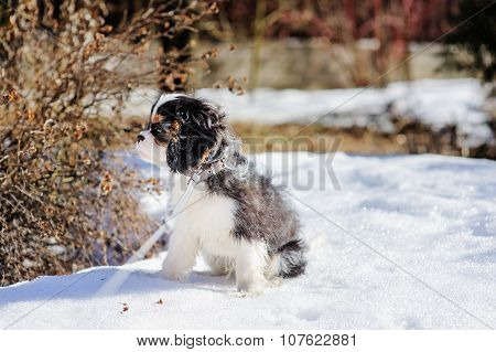 cavalier king charles spaniel puppy on the walk in snowy winter