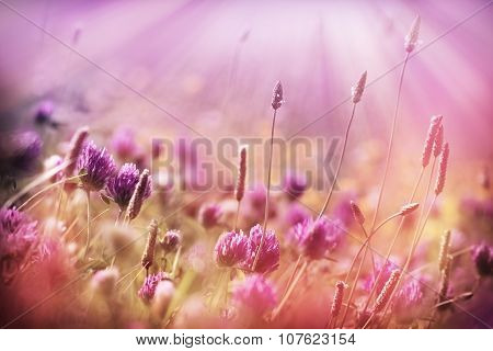 Meadow flowers - red clover
