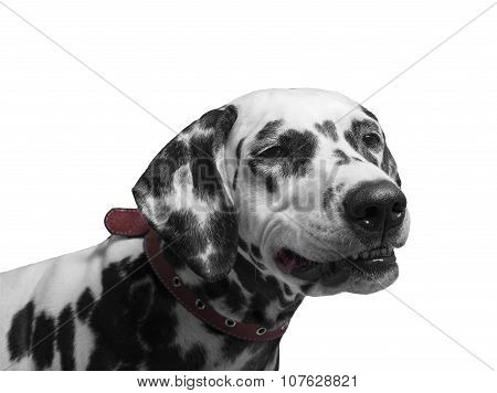 Portrait Of A Black And White Spotted Dalmatian Dog Breed In The