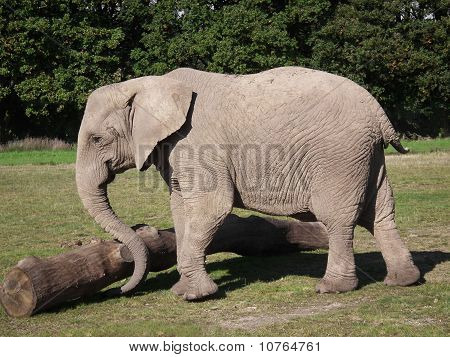Elephant Pushing Log