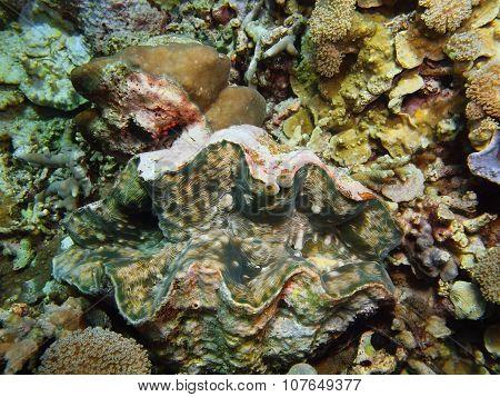 Enormous clam, Island Bali, Pemuteran