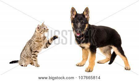 Playful cat Scottish Straight and puppy German Shepherd