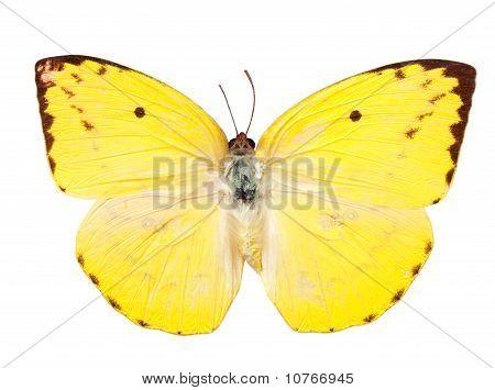 Lemon Emigrant Schmetterling