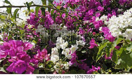 Colorful Flowers In Greece Village Oia On Santorini