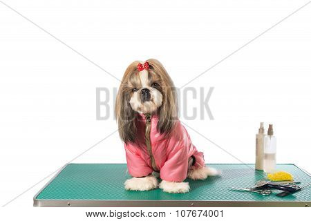 Well Groomed Shih-tzu At The Groomer Table In Pink Dog Costume