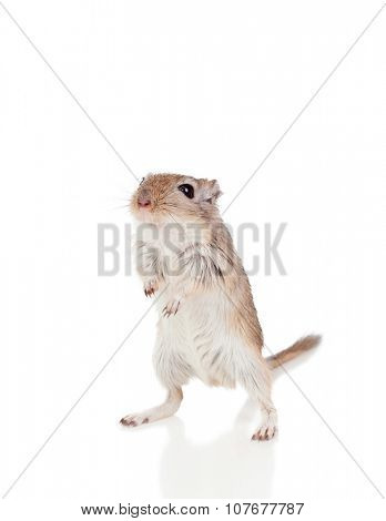 Portrait of a funny gergil standing isolated on a white background