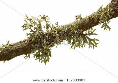 Lichen On Tree Twig