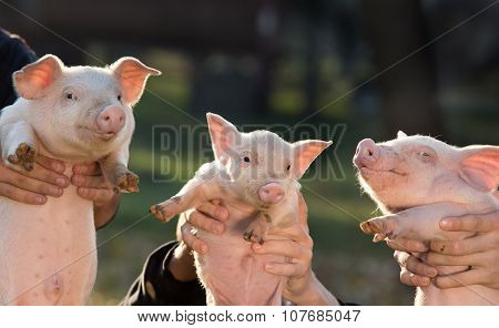 Piglets In Workers Hands