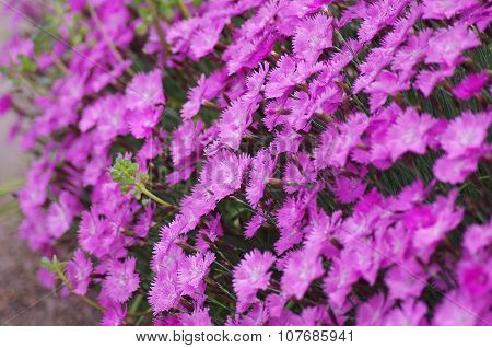 Flowerbed with lilac carnations.