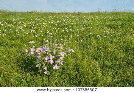 Pink Flowering Musk-mallow Plants On An Embankment