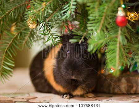 Guinea-pig At Christmas Tree