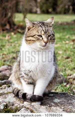 Domestic Cat Posing In Outdoors, Animal Portrait