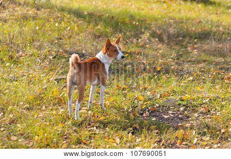 Cute Basenji dog in an autumnal park