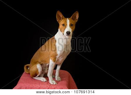 Studio portrait of elegant Basenji dog