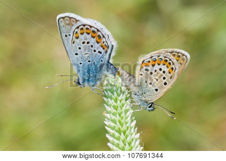 Pair of Common Blue (Polyommatus icarus) butterfly at reproductively motivated sexual behaviour