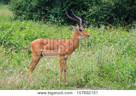 Male Impala In Tarangire Park, Tanzania