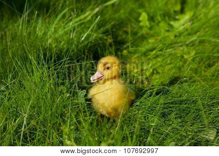 Little Yellow Duckling On The Green Grass Background