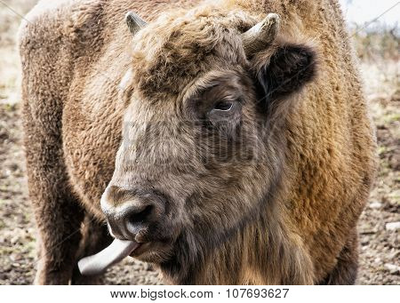 European Bison Tongue Out