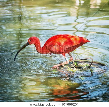 Beautiful Scarlet Ibis (eudocimus Ruber) In Water