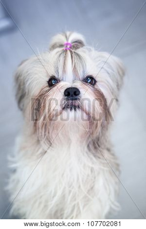 Shih tzu dog indoors portrait. Focus on nose