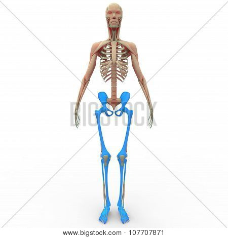 Human Skeleton Leg joints with Hip