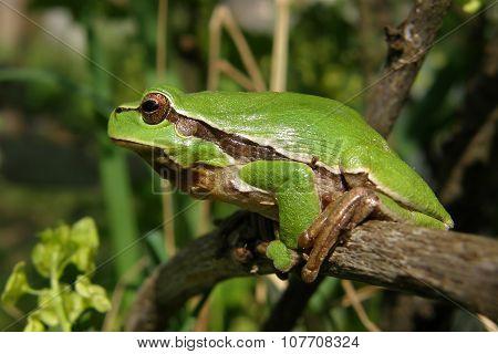 Green Frog Hyla Arborea