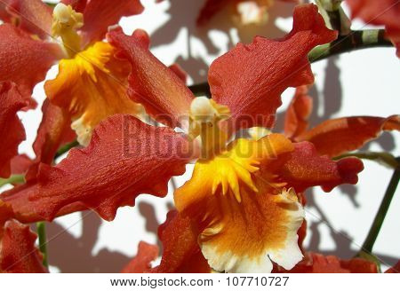 Closeup on red orange orchid