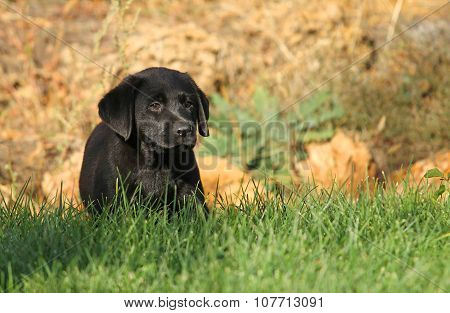 The Nice Black Labrador Puppy In Autumn