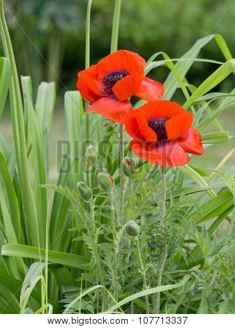 Red Poppies Grow