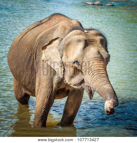 Elephant cub bathing in a river