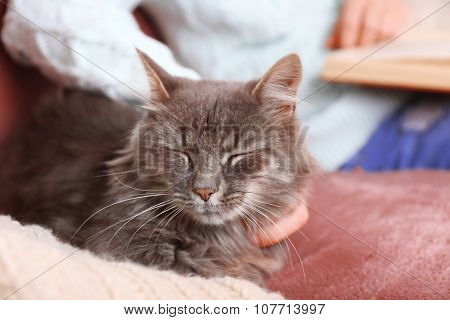Grey lazy cat sitting near reading woman on sofa in the room, close up