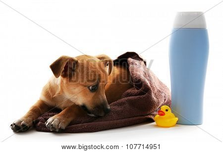 Puppy wrapped in towel, shampoo and toy duck beside it isolated on white