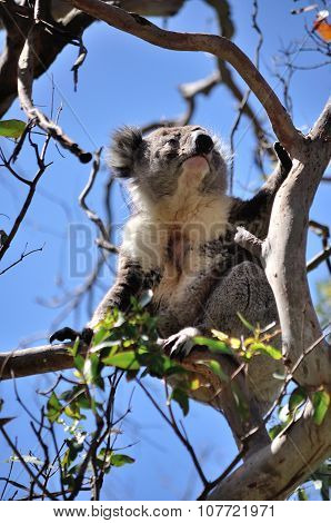Koala On A Tree Branch